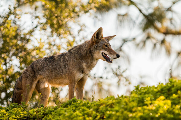 what  exactly  are southern california u0026 39 s coyotes eating