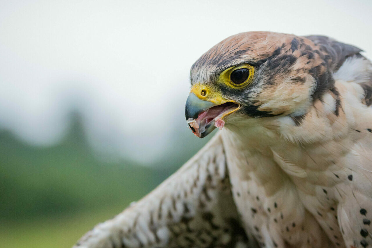 A peregrine falcon who just had lunch.