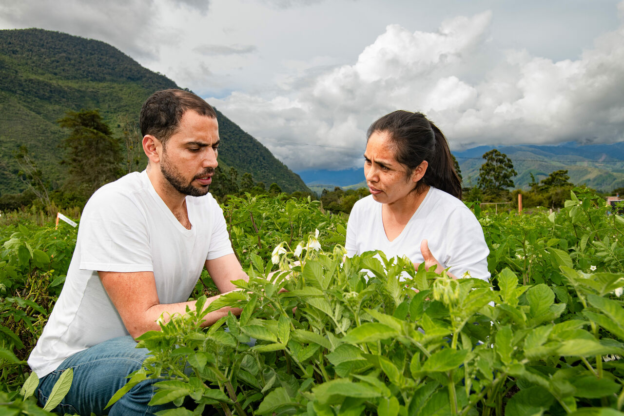 Thiago Mendes and Mariela Aponte, of the International Potato Center, study blight-resistant potatoes bred from wild relatives.