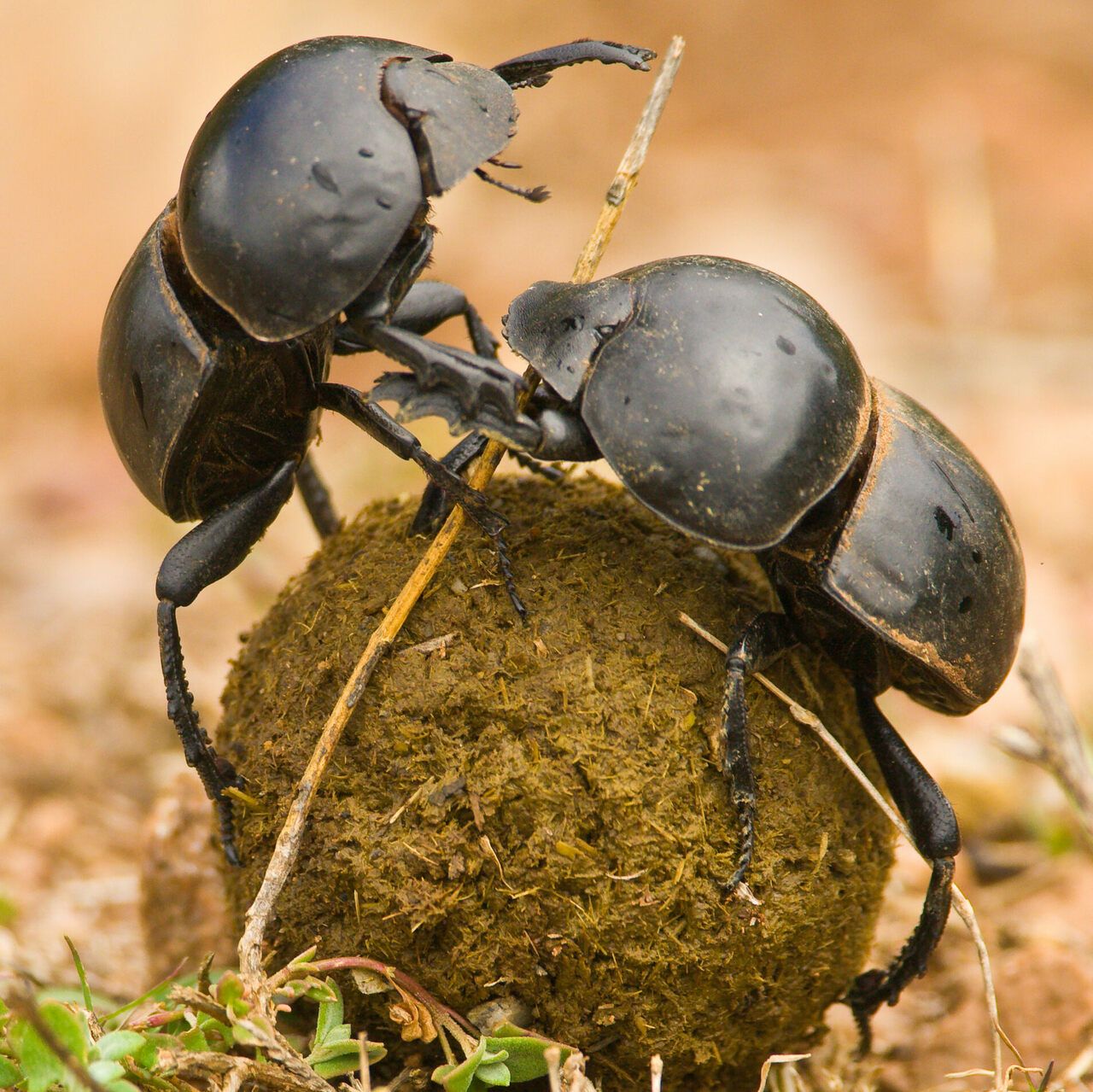 <em>Circellium bacchus</em>, a rare subspecies of dung beetle, is a scarab like no other.