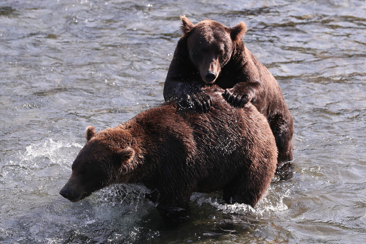 Brown bears in Katmai National Park, shown here in August, spend the summer bulking up on salmon.