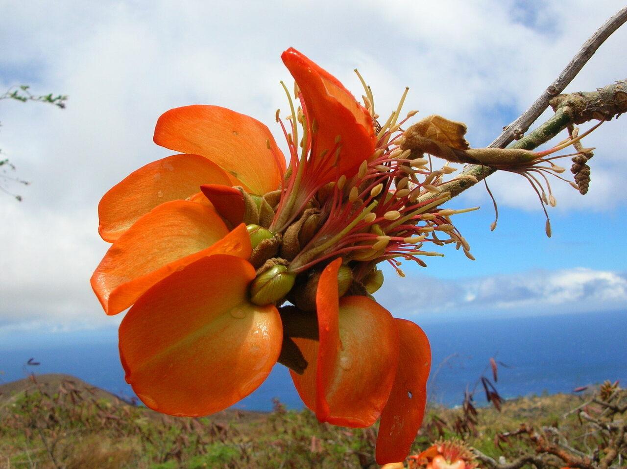 A wiliwili flower in full bloom.