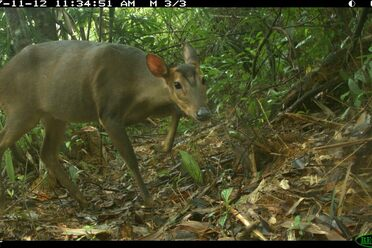 Solid proof the muntjac is still around.
