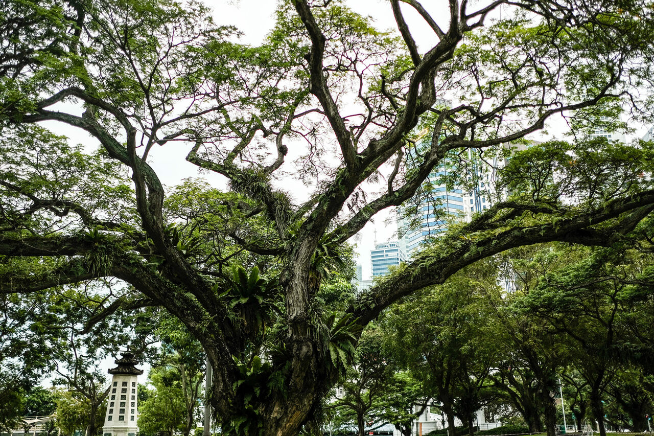 Singapore's millions of trees mingle with modern skyscrapers.