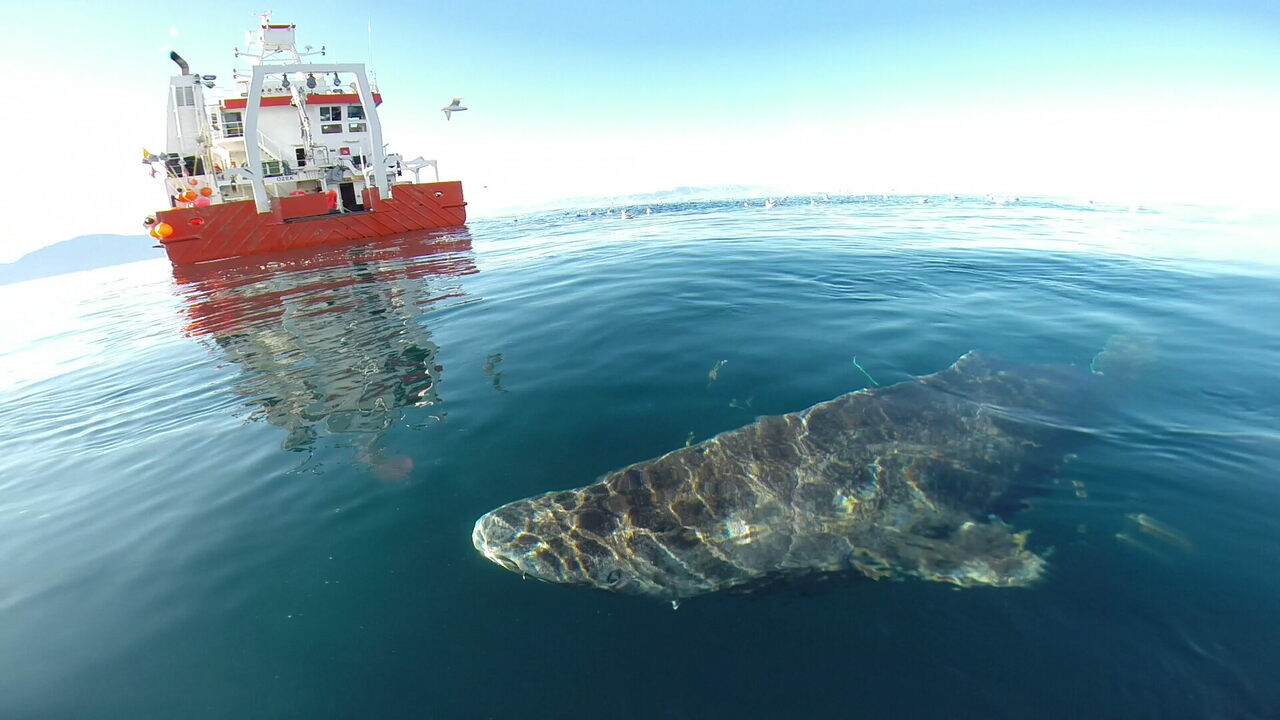 Greenland sharks often end up as bycatch on fishing vessels, and can be considered a nuisance.