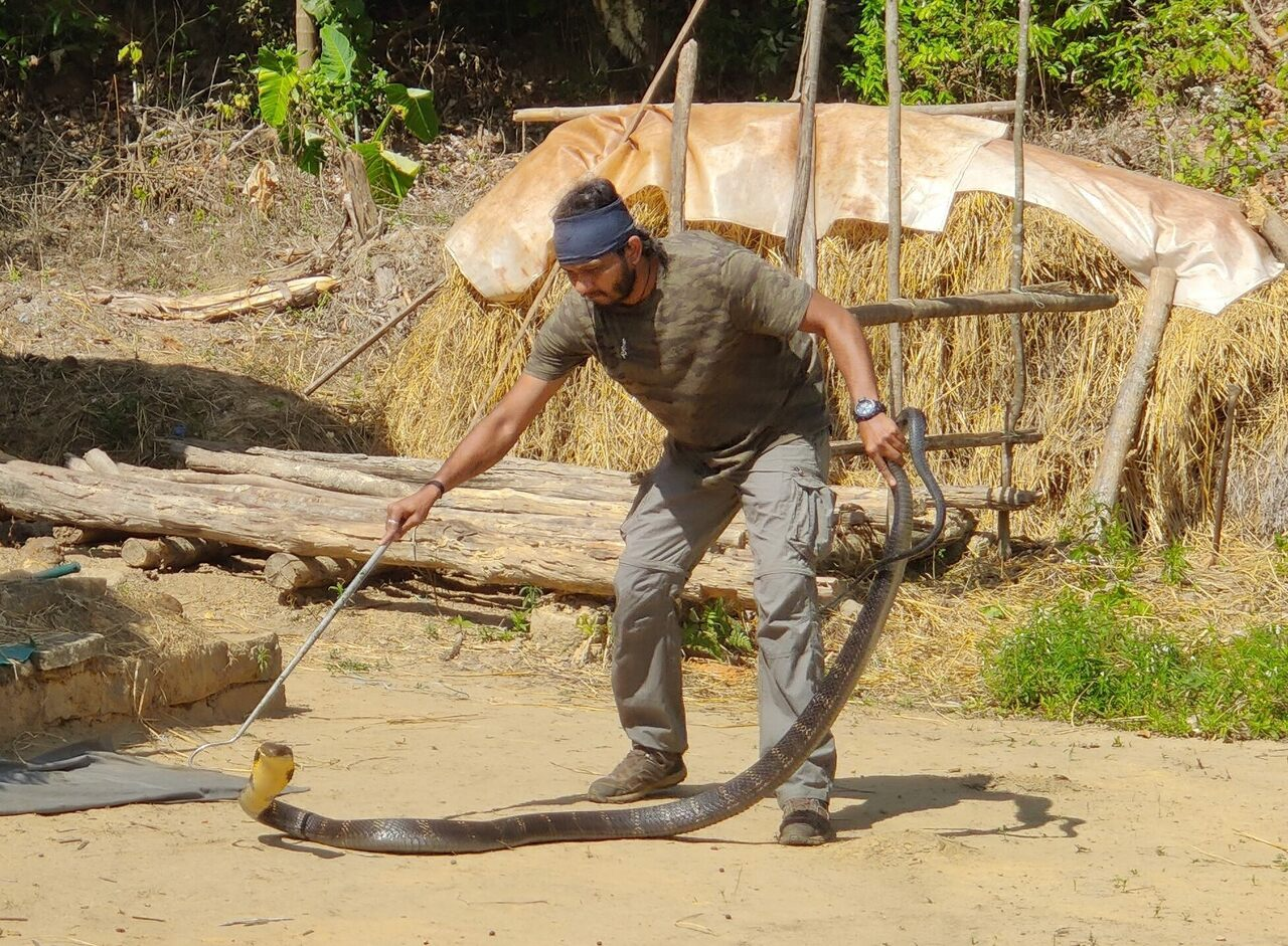 Wrangling an eight-foot king cobra is all in a day's work for Ajay Giri, field director of the Agumbe Reserve Research Station in western India.