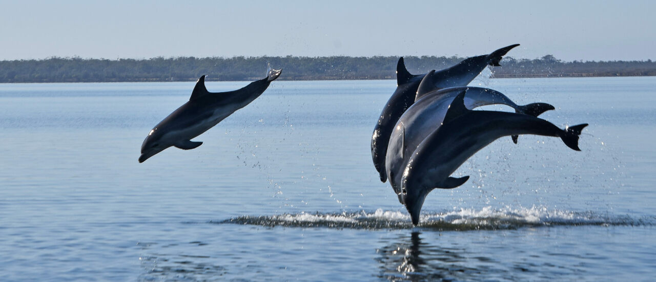Burrunan dolphins are known to form long-term friendships.