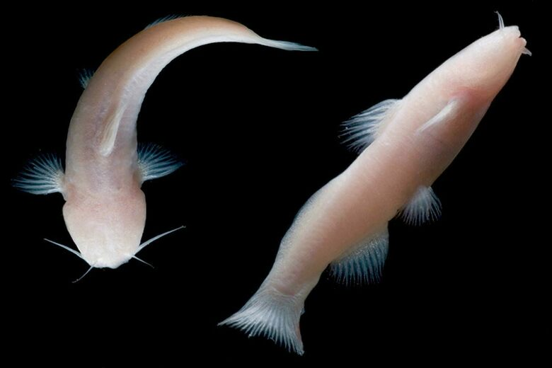 Found: Eyeless Catfish That Made It to the U.S. Through Secret Caves