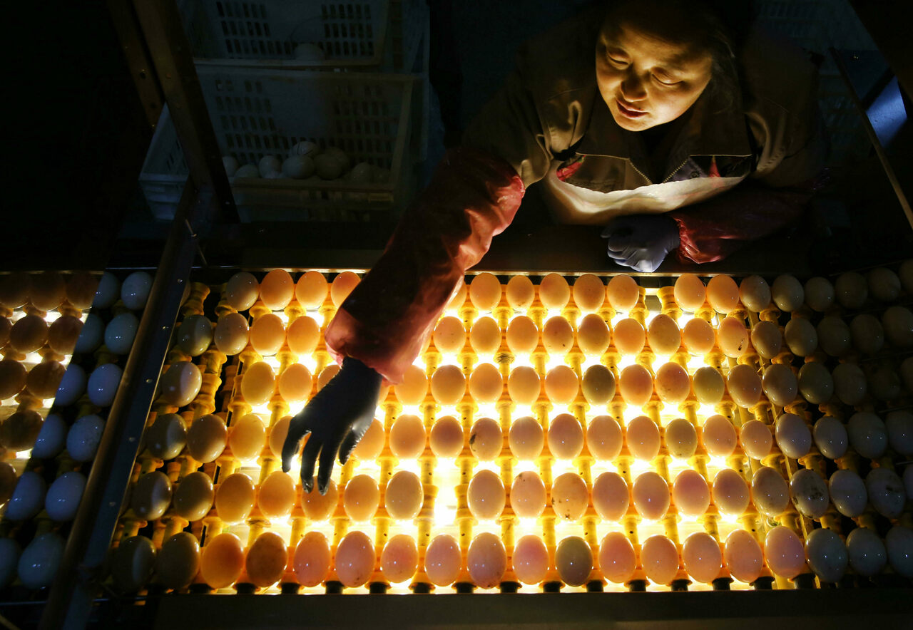A backlit conveyor belt allows workers to pick out double-yolked eggs.