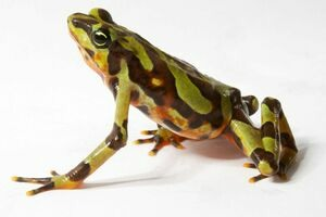 Frogs From Beyond Extinction