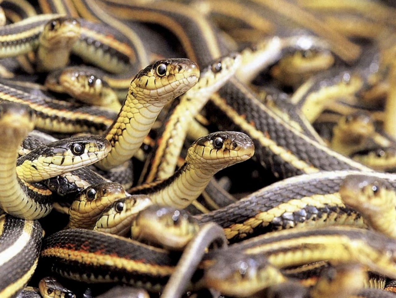 Among the most successful reptiles in North America, garter snakes thrive from the tropics to the edge of the Arctic.