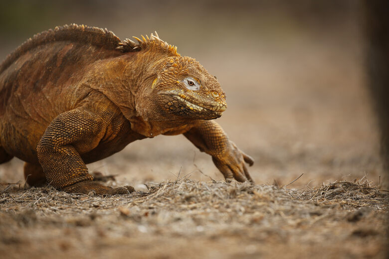 The Whack-a-Mole Survival of Galapagos Land Iguanas