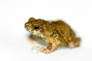 A lot goes into a túngara frog's ability to attract a mate.