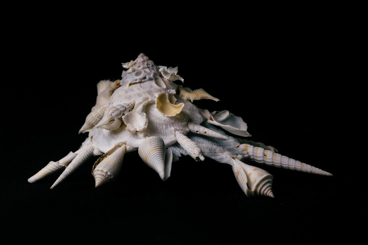 It's hard not to attribute artistic intent to this Xenophora shell.