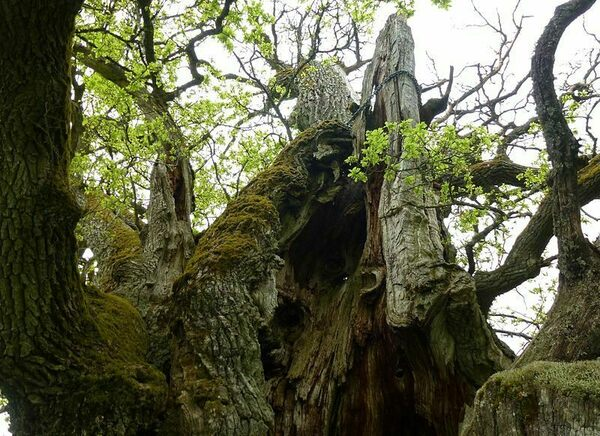 The End Is Near for One of Sweden's Oldest Trees