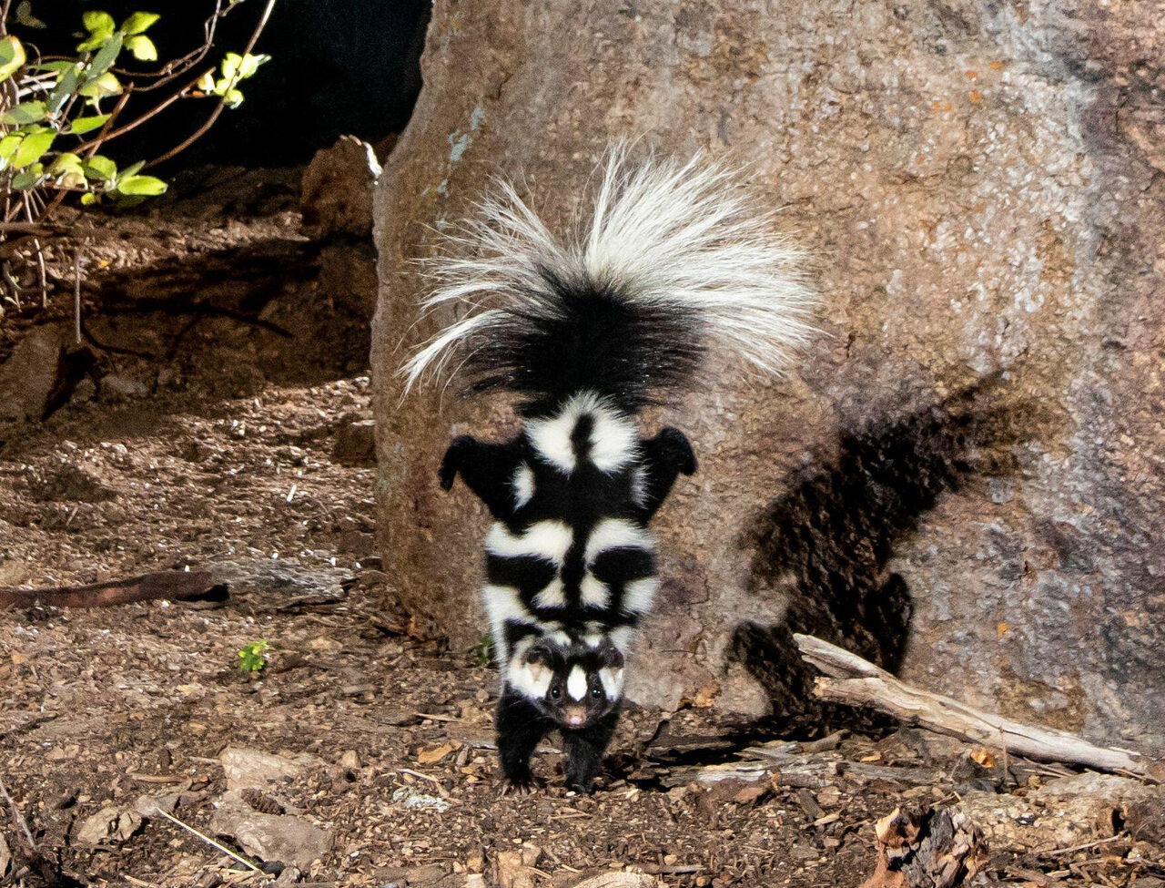 Spotted skunks perform an impressive handstand to appear twice their size and ward off would-be predators.
