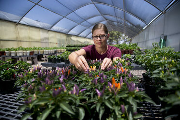 Researcher Danise Coon examines some purple peppers.