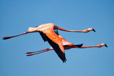 Flamingos on the move!