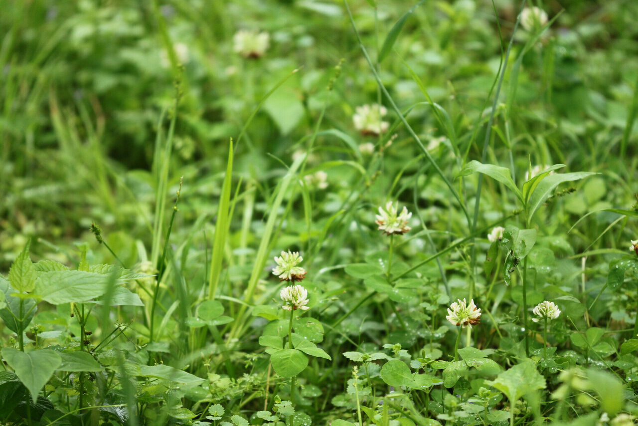 The running buffalo clover, tiny and resilient.