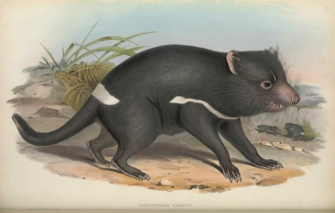 The Tasmanian devil, a talisman of Australian wildlife, was catalogued and illustrated by John and Elizabeth Gould in the mid-19th century, then rendered as a lithograph by H.C. Richter.