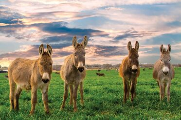 Four donkeys pose beneath a striking sky at Peaceful Valley's San Angelo ranch.