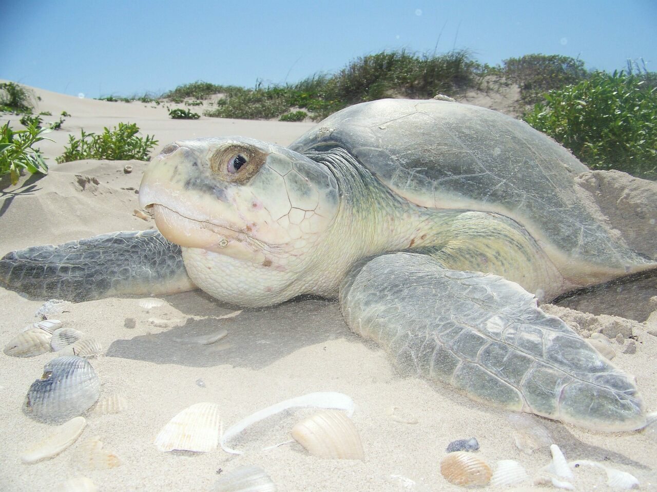 Kemp's ridley sea turtles are an endangered species that live and nest in the Gulf of Mexico. This one was photographed on Padre Island.