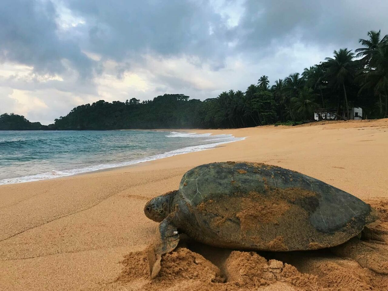 The endangered sea turtles of São Tomé now have the island's biggest pop star on their side.