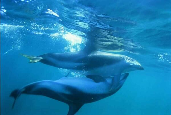 How A Female Dolphin May Use Her Vagina To Choose The -9032