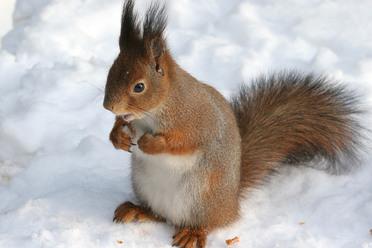 A red squirrel.