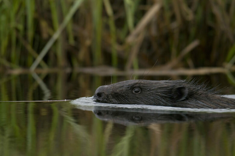 On an English Estate, Reintroduced Beavers Might Make a Damn Difference