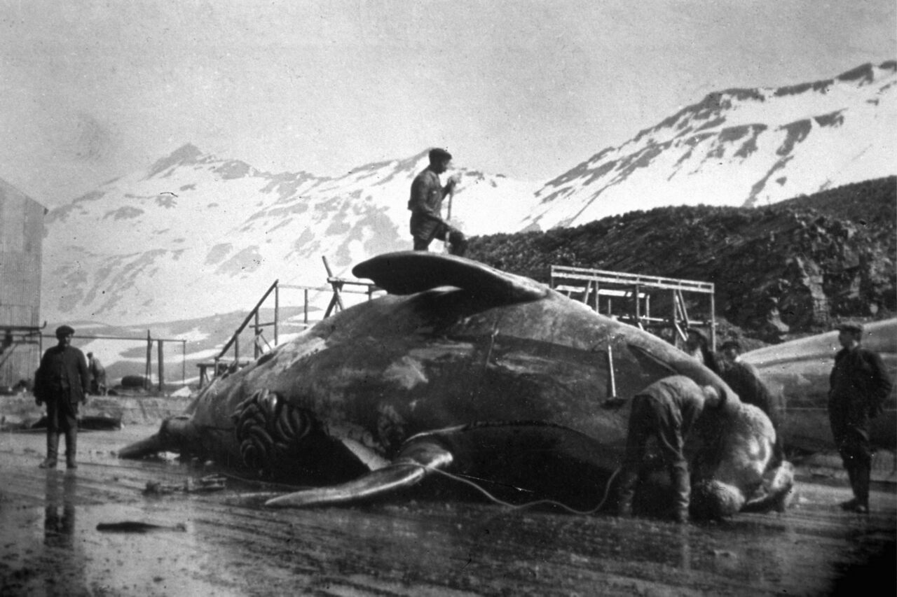 A crew tackling the massive of task of dissecting a whale in Antarctica circa 1935.