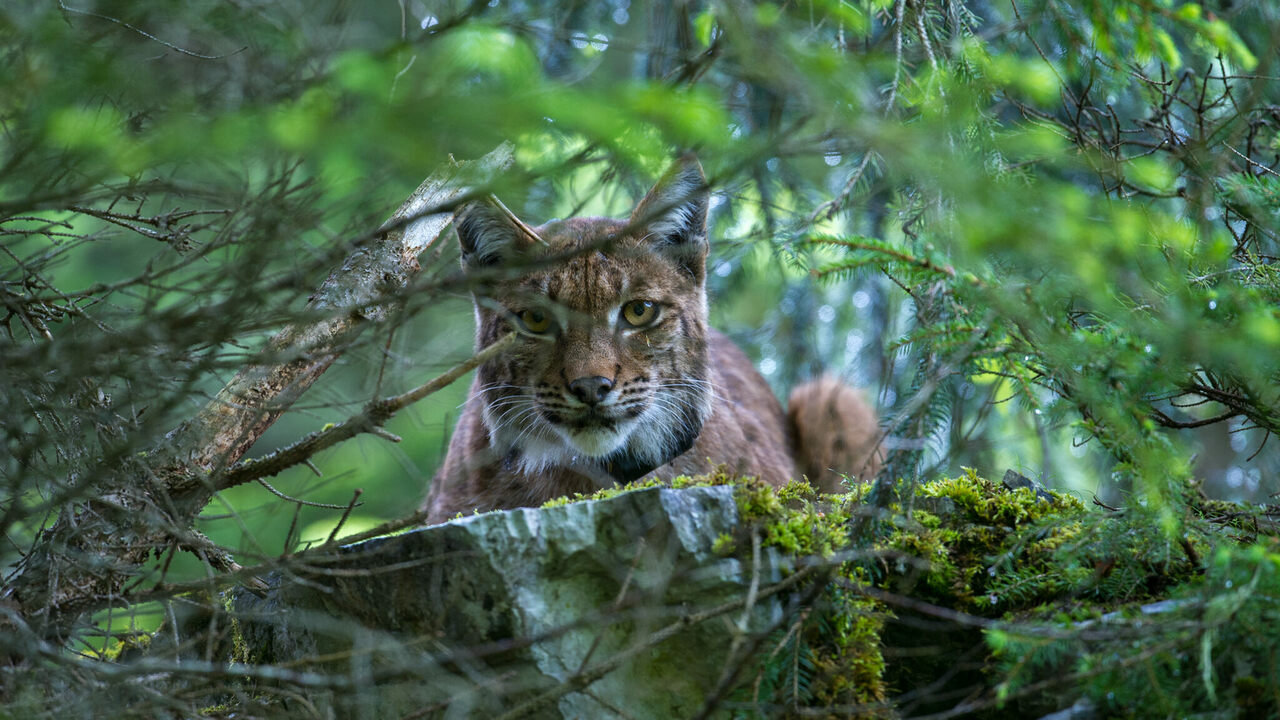 An anxious female Eurasian lynx looks on as biologists tag her three-week-old cub.
