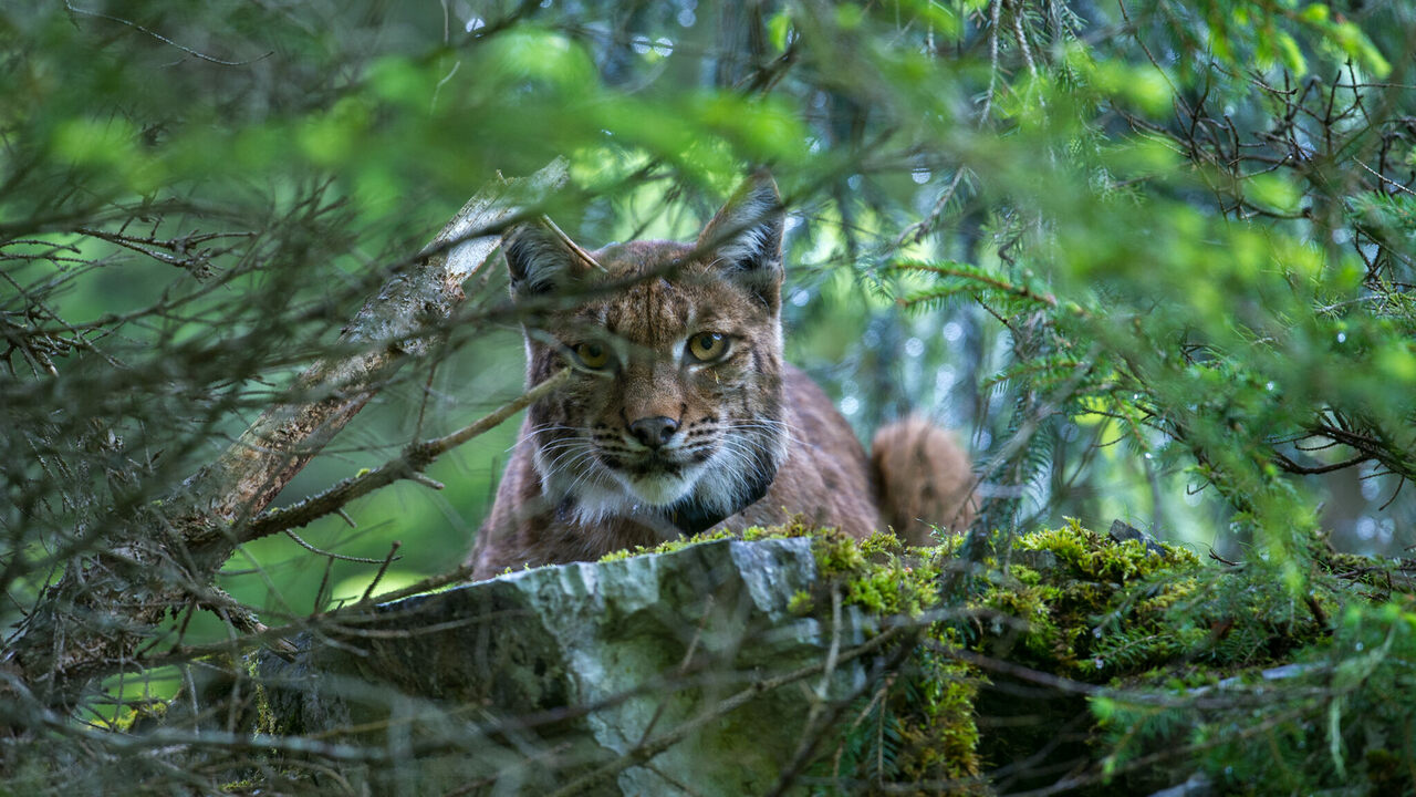 An anxious female Eurasian lynx looks on as biologists tag her three-week-old cub.