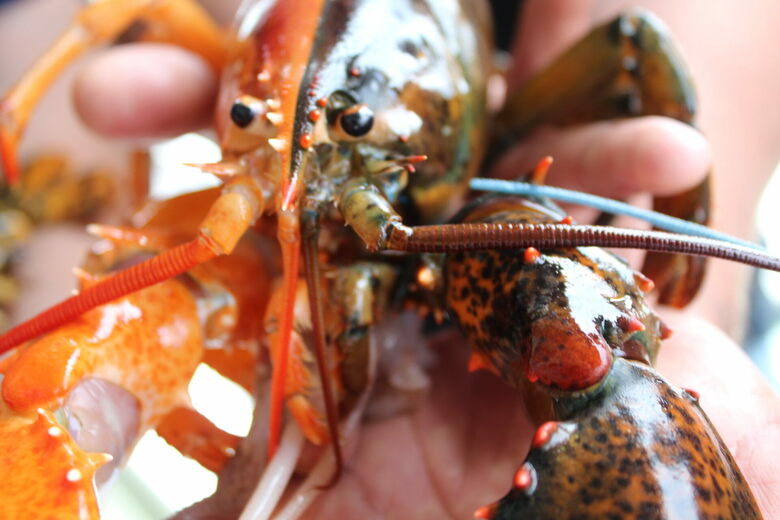 Found: A Fantastically Two-Toned Lobster Off the Coast of Maine