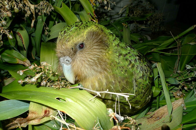 A Breeding Breakthrough for New Zealand's Chubby Night Parrot