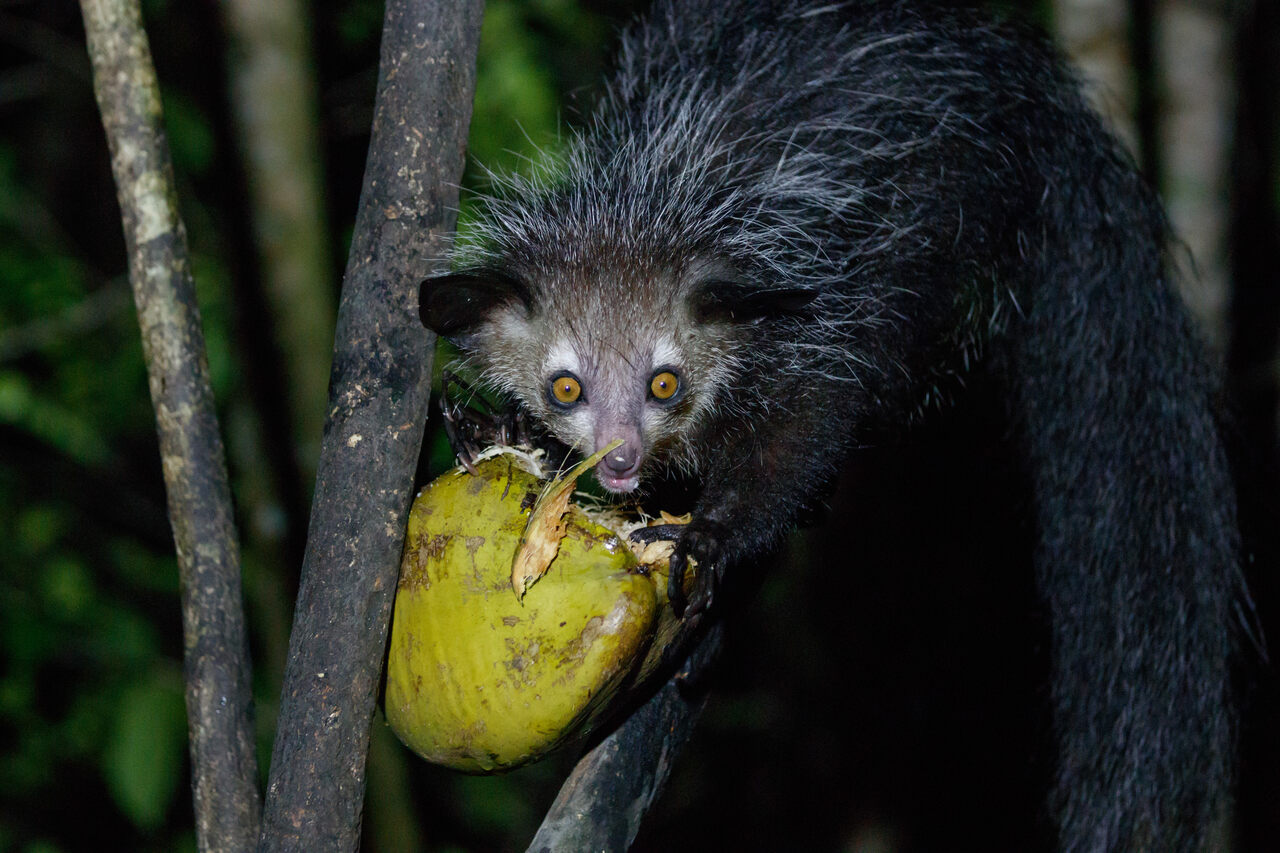 Nocturnal and reclusive, the aye-aye lemur is considered a harbinger of evil by some communities on Madagascar, the only place the animal can be found in the wild.