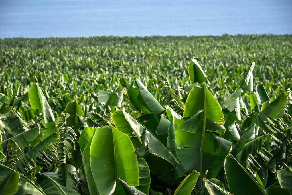 Could banana groves help with California's fire woes?