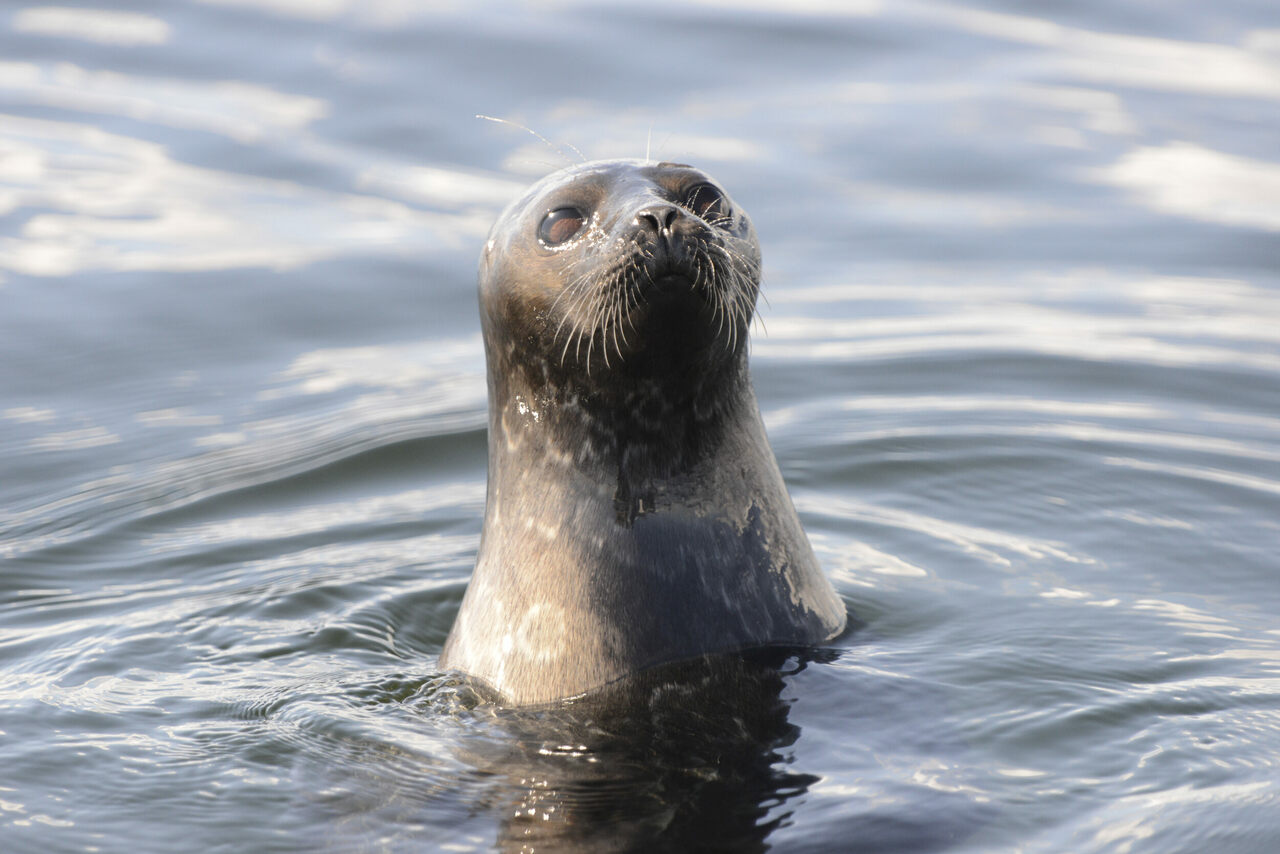 The endangered Saimaa ringed seal has adapted over time to both fresh water and the presence of humans.