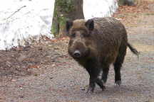 Animals Do Better Living in an Irradiated Forest Than Near Humans