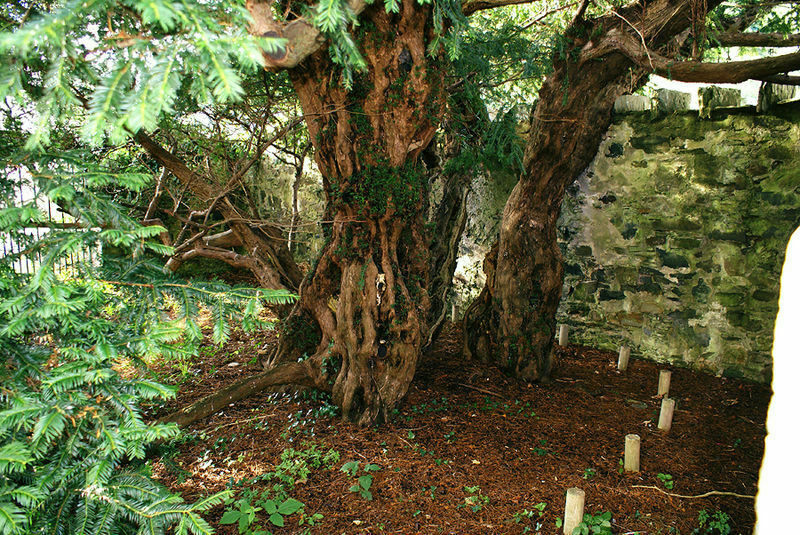 The split trunk of the very, very old yew.
