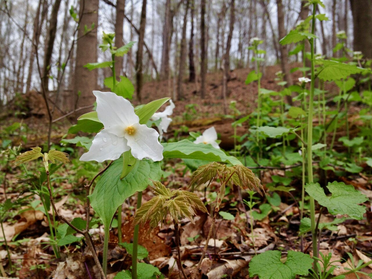 "White trillium flowering in the spring as trees begin ""leafing out."""
