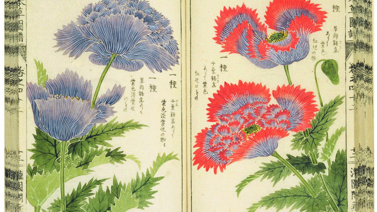 Iwasaki Tsunemasa, Papaver somniferum, from his book Honzō Zufu, 1920–2.