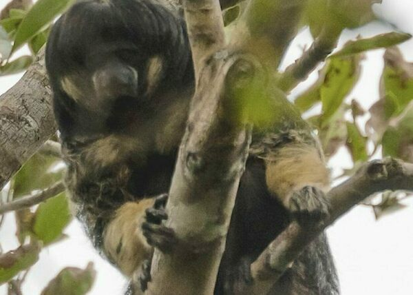 Found: A Fluffy Monkey Scientists Last Observed in the 1930s