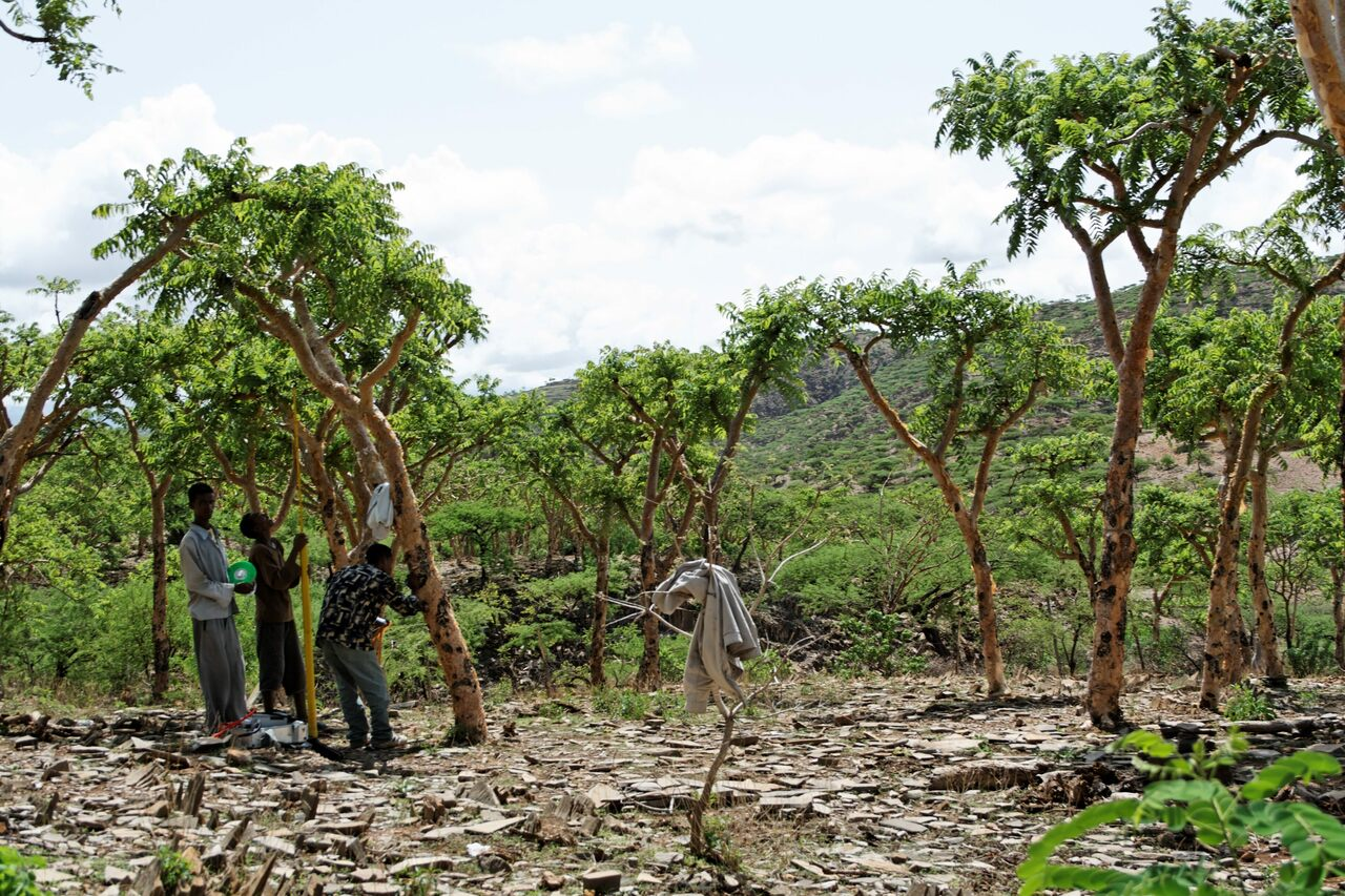 Trees being tapped for frankincense resin in Tigray, Ethiopia.