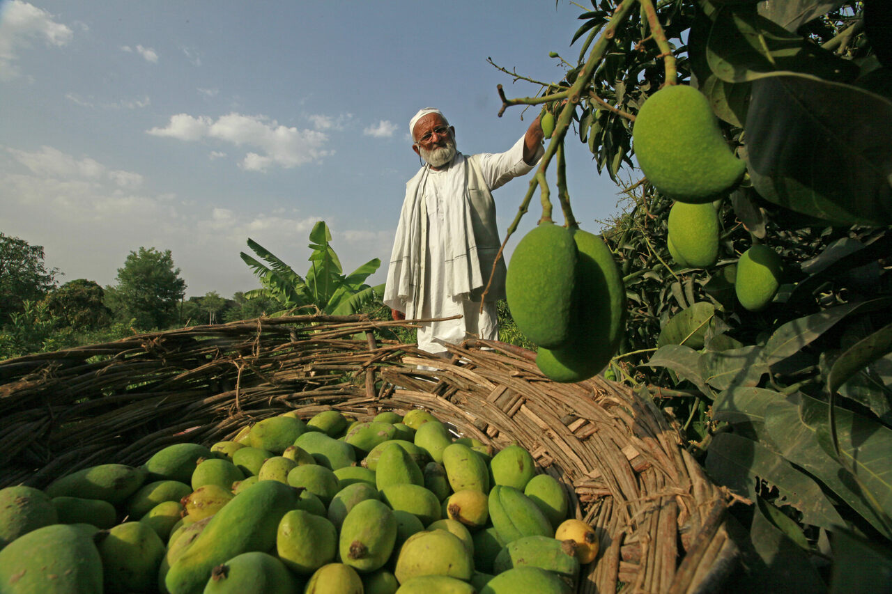 Khan during a previous year's mango harvest.