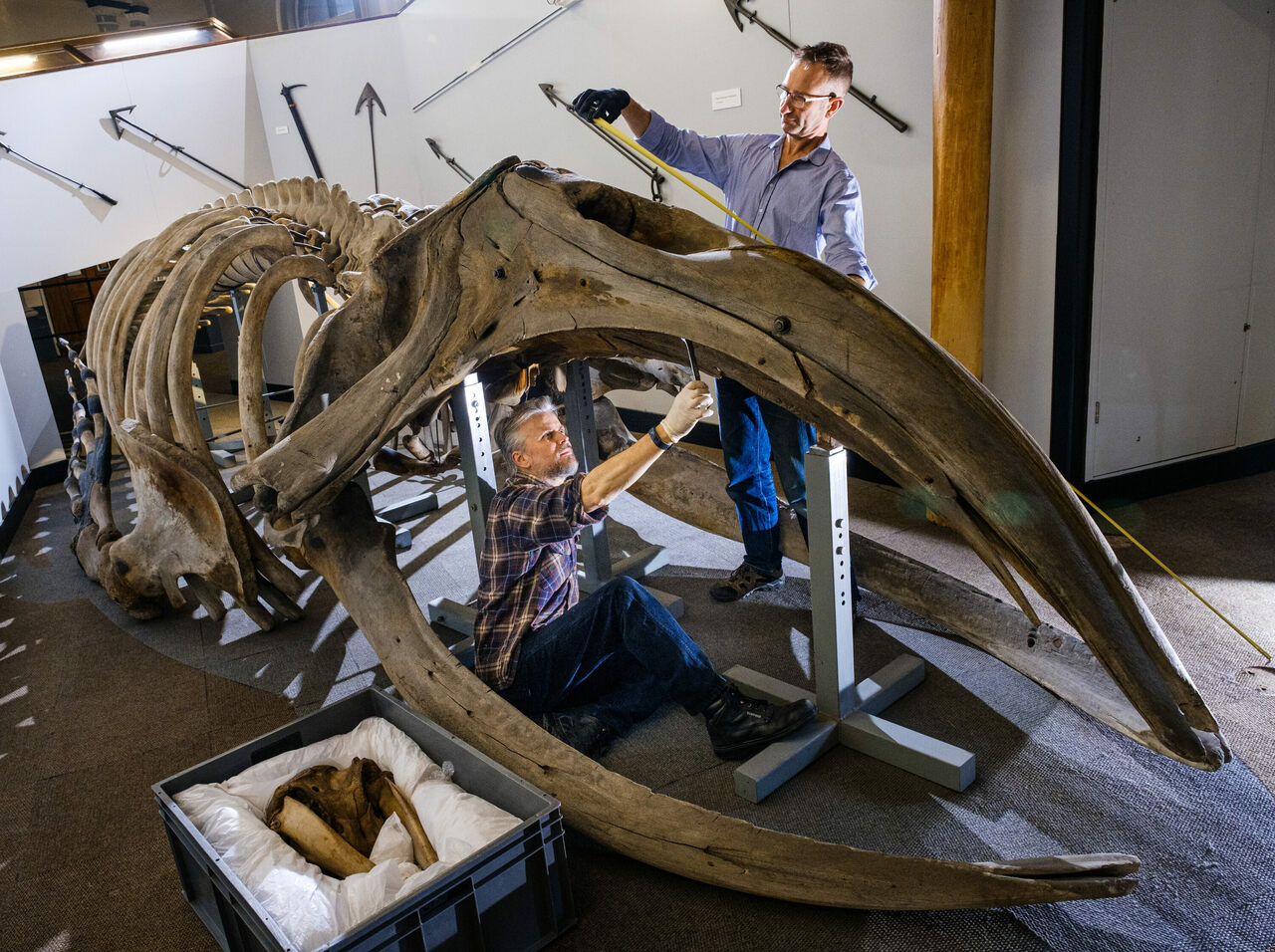 Nigel Larkin and Phil Rye work on the right whale skeleton.