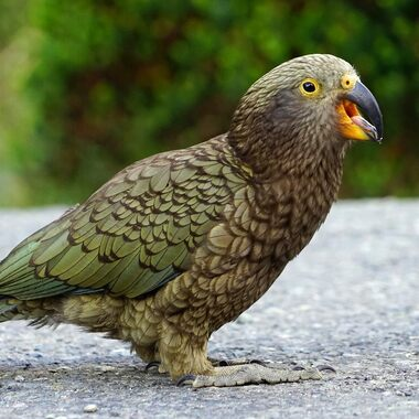 The kea is one of New Zealand's most popular, and infamous, birds.