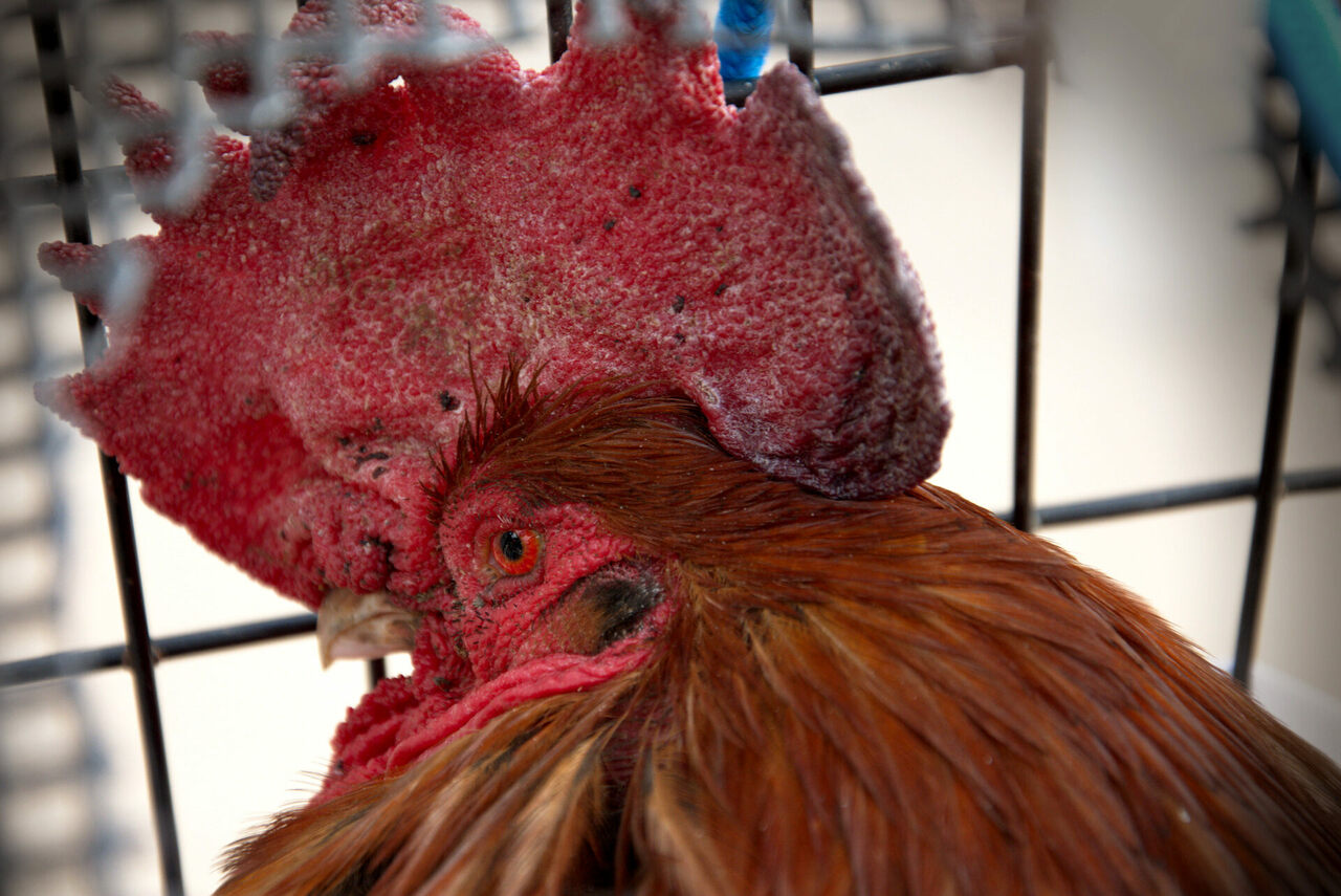 Maurice the rooster, whose early crowing upset vacationers in France's Ile d'Oléron.