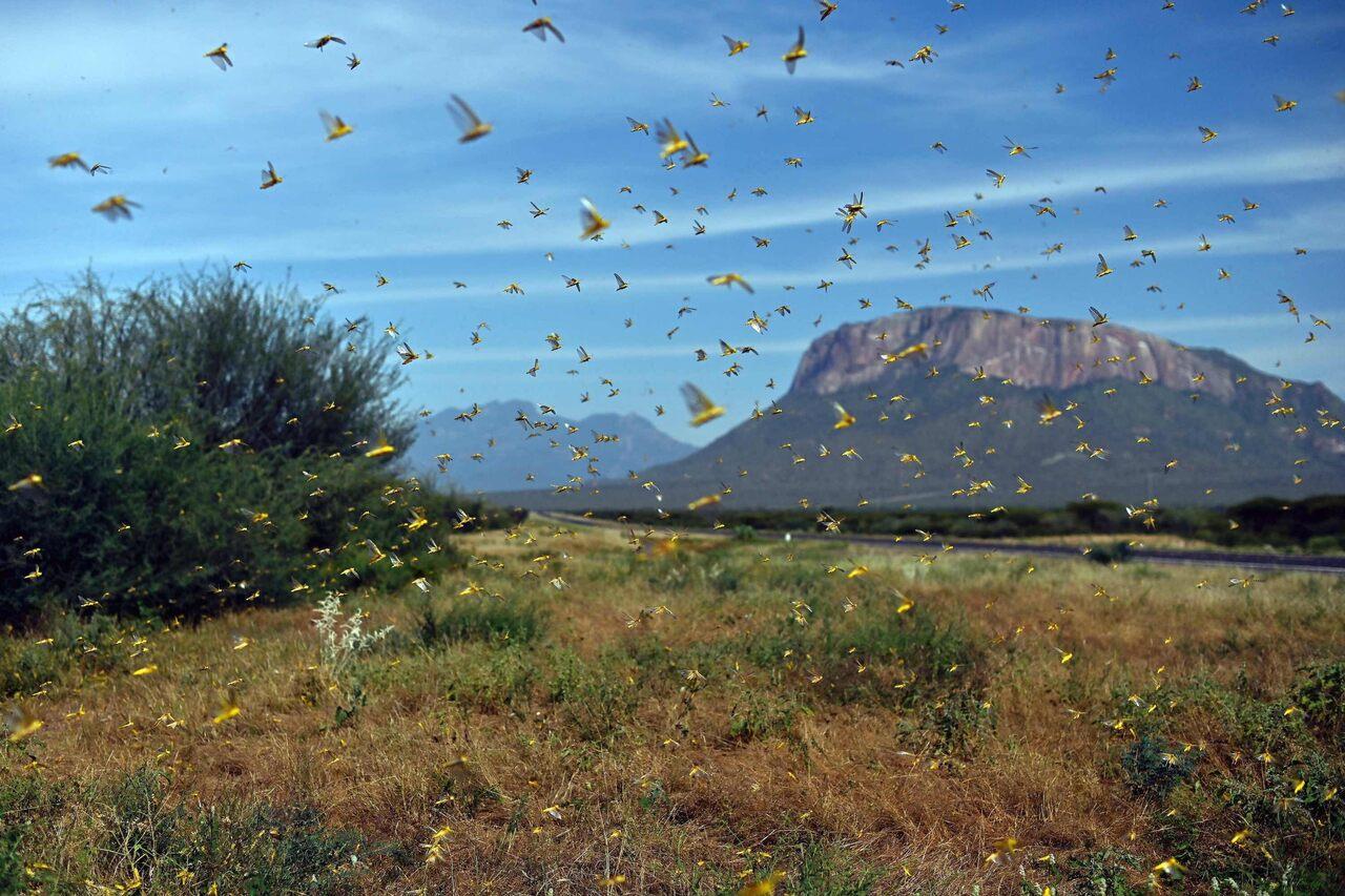 A swarm of locusts in Samburu county, approximately 186 miles north of Nairobi, Kenya, on January 22.