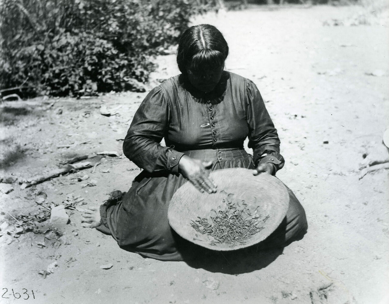 A central Pomo woman with army worms in Ukiah Valley, California, c. 1904.